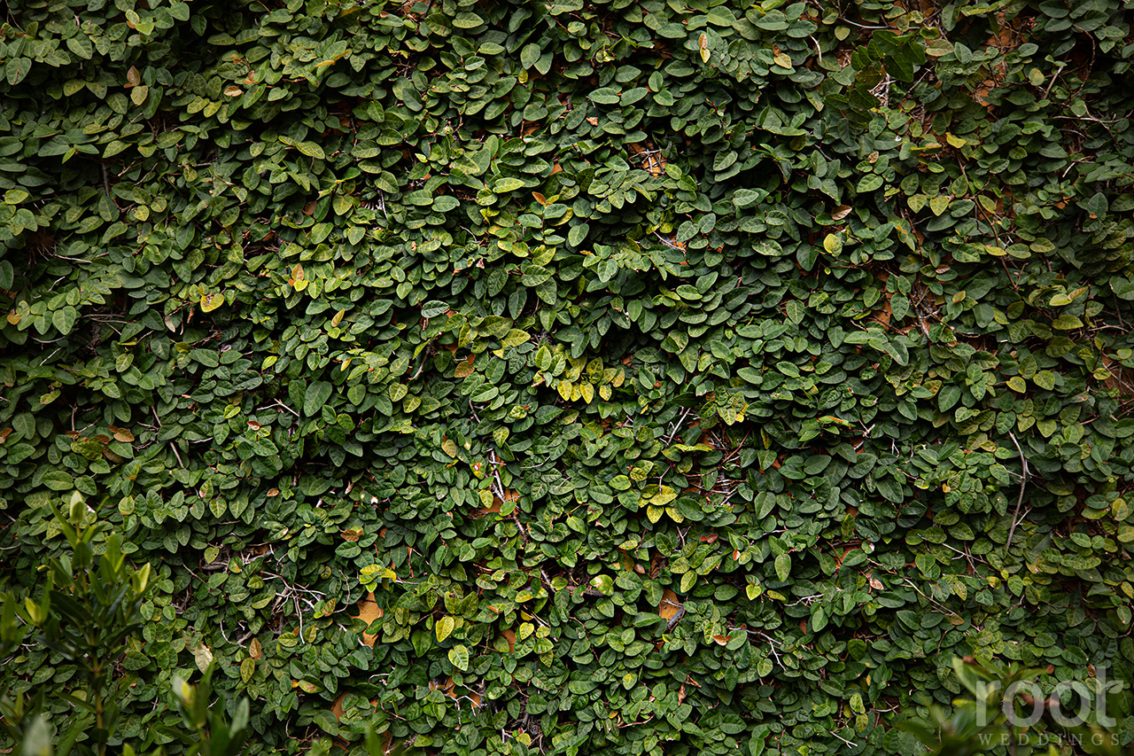 Ivy wall at Bella Collina