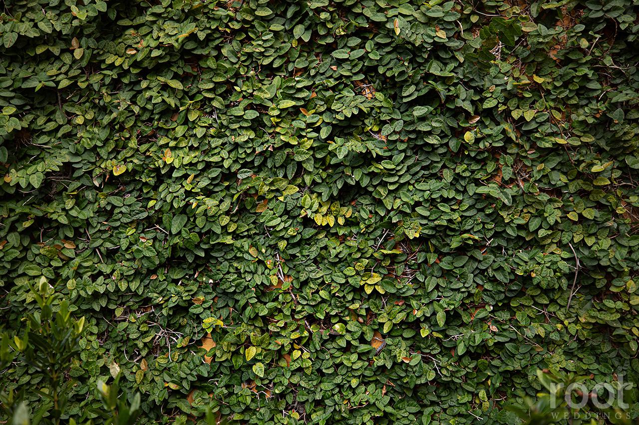 Ivy wall at Bella Collina